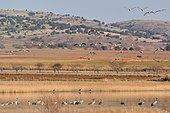 Common cranes (Grus grus) on the edge of Gallocanta lagoon, Zaragoza, Aragón, Spain