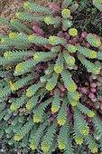 Little fir spurge (Euphorbia pithyusa), Biotope: Coastal platforms, on sands and rocks, Corsica, France