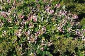Honeysuckle (Lonicera implexa) in the middle of Phoenician Juniper (Juniperus phoenicea), Biotope: Rocky coast south of Bonifacio, Corsica, France