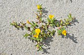 Variegated bugrane (Ononis variegata), Biotope: Coastal sand, Corsica, France