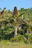 Parc national d'iSimangaliso Wetlands. Ce parc de 3 300km² protège une forêt de palmiers raphia. Celui ci est en fleur. Il mourra une fois la floraison terminer. Santa Lucia. Kwazulu Natal. Afrique du Sud