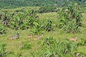 Kudus (Tragelaphus strepsiceros) in the iSimangaliso Wetland Park, Santa Lucia, Kwazulu Natal, South Africa.