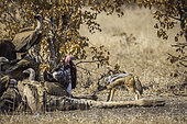 Black backed jackal (Canis mesomelas), white back vulture (Gyps africanus) and Lappet faced Vulture (Torgos tracheliotos) scavenging a dead giraffe in Kruger National park, South Africa