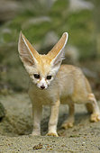 Young fennec fox (Vulpes zerda)