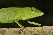 Perinet chameleon (Calumma gastrotaenia) female, Andasibe (Périnet), Alaotra-Mangoro Region, Madagascar