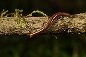 Iule marron (Julida sp) sur une branche, Andasibe (Périnet), Région Alaotra-Mangoro, Madagascar