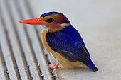 African Pygmy-Kingfisher (Ispidina picta)