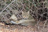 Chat sauvage africain (Felis silvestris cafra) couché, Kruger, Afrique du Sud