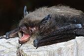 Brandt's Bat (Myotis brandtii)