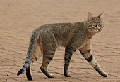 Chat sauvage africain (Felis silvestris cafra) marchant, Kruger, Afrique du Sud