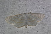 Small white wave (Asthena albulata)