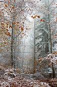 Forêt mixte de montagne (chênes, pins, hêtres, alisiers, mélèzes) en automne dans le brouillard de la première neige Parc naturel régional des Vosges du Nord, France