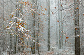Mixed mountain forest (oaks, pines, beeches, service tree) in autumn in the first snow, Regional Natural Park of Vosges du Nord, France