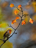 Common Robin (Erithacus rubecula) autumn song on a hawthorn, Regional Natural Park of Northern Vosges, France