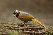 Collared Laughingthrush (Trochalopteron yersini), Bidoup National Park, Vietnam