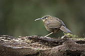 Short-tailed Scimitar Babbler (Jabouilleia danjoui), Bidoup National Park, Vietnam