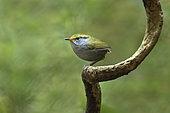 Slaty-bellied Tesia (Tesia olivea), Bidoup National Park, Vietnam
