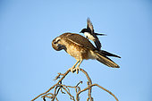 Brown Falcon (Falco berigora) perched on a branch, Queensland, Australia