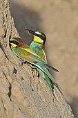 Guêpier d'Europe (Merops apiaster), couple nourrissage à l'entrée du terrier, nidification dans la vallée de la Bourdeuse, Territoire de Belfort, France