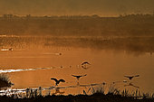 Coots (Fulica atra) flying in the morning light, pond at sunrise, Baie de Somme, France