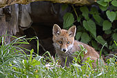 Red fox (Vulpes vulpes), kit evolving in a pile of wood near the burrow, Doubs, France