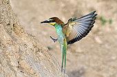 Guêpier d'Europe (Merops apiaster), arrivée en vol à l'entrée du terrier, nidification dans la vallée de la Bourdeuse, Territoire de Belfort, France
