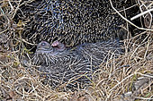 Western european hedgehog (Erinaceus europaeus) and young, France