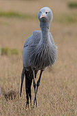 Blue Crane (Anthropoides paradisea), South Africa