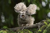 Long-eared Owl (Asio otus) juvenile flapping, North Rhine-Westphalia, Germany
