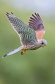 Common Kestrel (Falco tinnunculus) male flying, Baden-Wuerttemberg, Germany
