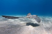 Cowtail Stingray (Pastinachus sephen) swims over a sandy bottom, Red Sea, Marsa Alam, Abu Dabab, Egypt, Africa