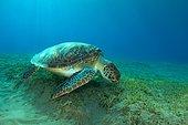 Green Sea Turtle (Chelonia mydas) eating sea grass on the sandy bottom, Red Sea, Marsa Alam, Abu Dabab, Egypt, Africa
