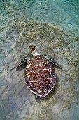 Green Sea Turtle(Chelonia mydas) feeding on sea grass on the sandy bottom, Red Sea, Marsa Alam, Abu Dabab, Egypt, Africa
