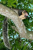Indian Giant Squirrel or Malabar Giant Squirrel (Ratufa indica), sitting on a branch, feeding, Hikkaduwa, Sri Lanka, Asia