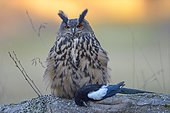 Eurasian eagle-owl (Bubo bubo), adult female with prey, Eurasian magpie (Pica pica), Sumava National Park, Sumava, Czech Republic, Europe