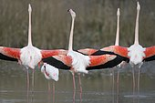 Greater flamingos (Phoenicopterus roseus), several birds with outstretched wings, group courtship, Camargue, Southern France, France, Europe