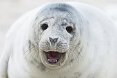 Young grey seal (Halichoerus grypus) calling, portrait, Heligoland, Schleswig-Holstein, Germany, Europe