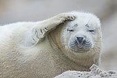 Young grey seal (Halichoerus grypus) raising fin, Heligoland, Schleswig-Holstein, Germany, Europe