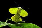 Green Shield Mantis (Rhombodera basalis), Chocó rainforest, Ecuador, South America