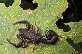 Neotropical Scorpio (Chactidae family), Chocó rainforest, Ecuador, South America
