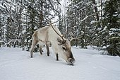 Reindeer (Rangifer tarandus) in winter, near Posio, Lapland, Finland, Europe