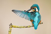 Male Kingfisher (Alcedo atthis) preening, Hesse, Germany, Europe
