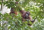 Orangutans (Pongo) in Semenggoh Wildlife Sanctuary in Kuching, Sarawak, Borneo, Malaysia, Asia