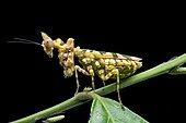 Praying mantis (Callibia diana) with green markings for camouflage, Amazon rainforest, Yasuni National Park, Ecuador, South America