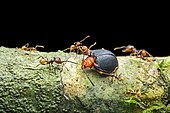 Ant (Pheidole sp.), worker attacking a fungus beetle (Endomychidae), Amazon rainforest, Yasuni National Park, Ecuador, South America
