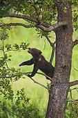 Brown bear (Ursus arctos), cub in a tree, captive, Bavaria, Germany, Europe