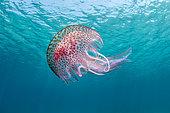 Méduse pélagie (Pelagia noctiluca) sous la surface, Parc National de Port-Cros, Var, Provence-Alpes-Côte d'Azur, France