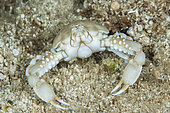 Crab Leucosia (Coleusia signata), so-called Lessepsian species, ie originating from the Red Sea and arriving in the Mediterranean by the Suez Canal, Marine Protected Area of Kas-Kekova, Turkey . Tropicalization of the Mediterranean