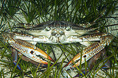 Swimming crab (Portunus segnis), so-called Lessepsian species, ie originating from the Red Sea and arriving in the Mediterranean by the Suez Canal, Marine Protected Area of Kas-Kekova, Turkey . Tropicalization of the Mediterranean