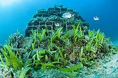 Invasive Algae (Caulerpa taxifolia) colonizing an artificial reef in the Larvotto Marine Reserve, Monaco